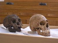 Penemuan Fosil Manusia Purba Di Indonesia Fakta